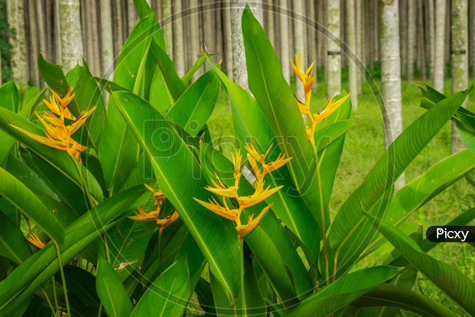 Yellow Flower With Its Green Long Leaf