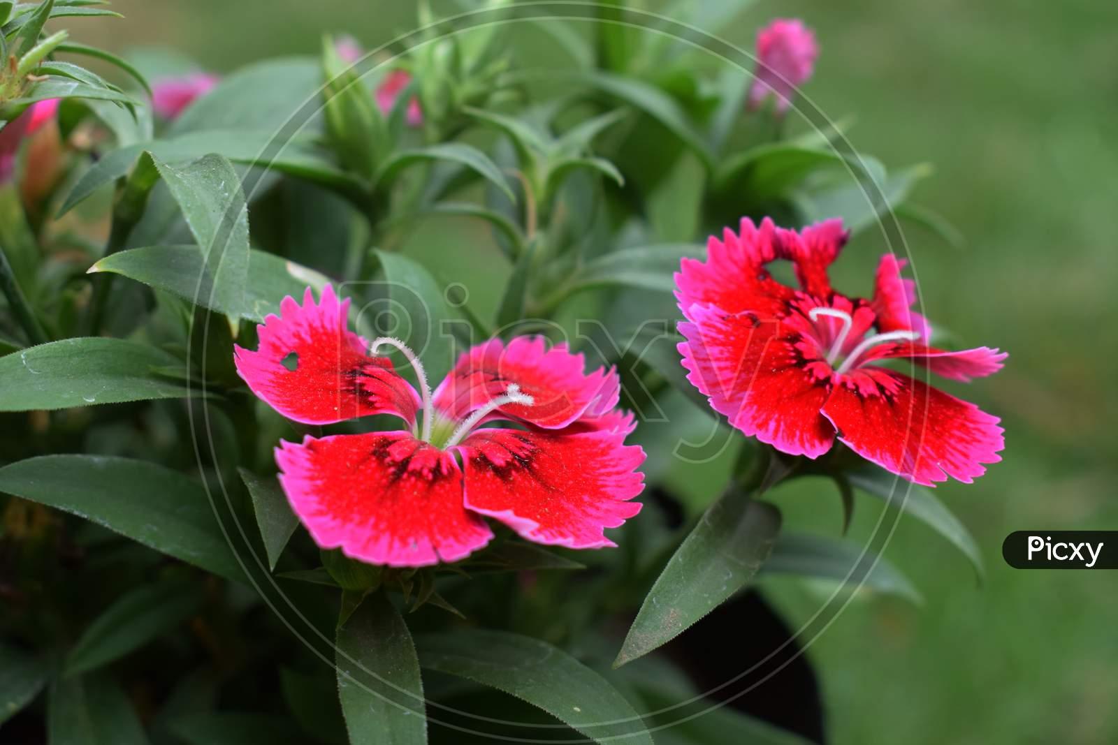 Dark Pink Dianthus Flower Caryophyllaceae