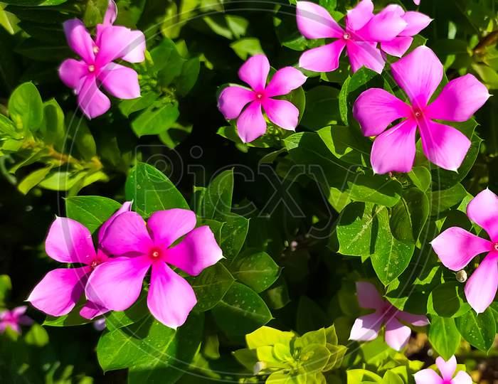 Madagascar periwinkle pink purple flowers