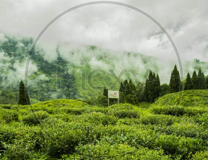 Tea garden landscape in Darjeeling, India