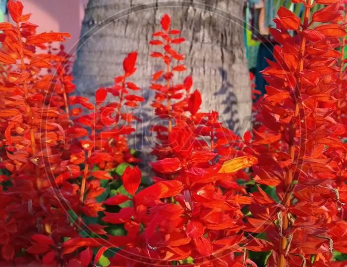 Red Gladiolus petal lobelia flowering plant
