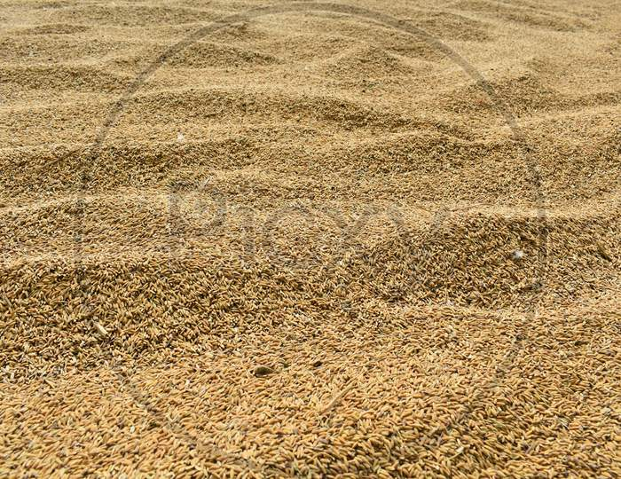Selective Focus Of Yellow Paddy Seed Kept Under Open Sun Before Storing