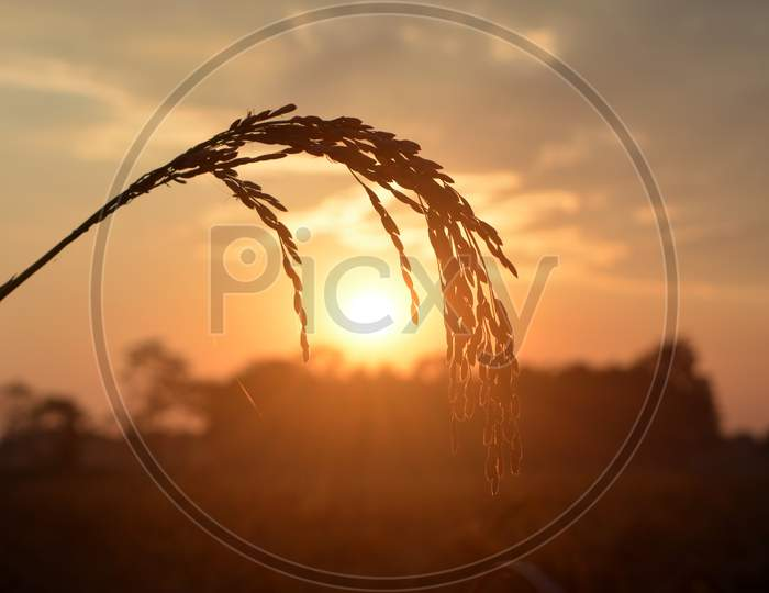 Sunset in a Paddy field Of Assam.