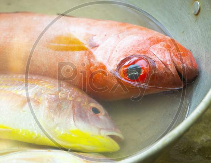 Northern red snapper fish
