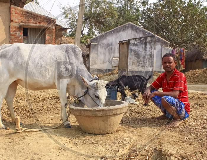 An Indian or asian man sitting on the ground with his cow. Man wearing colorful clothes.