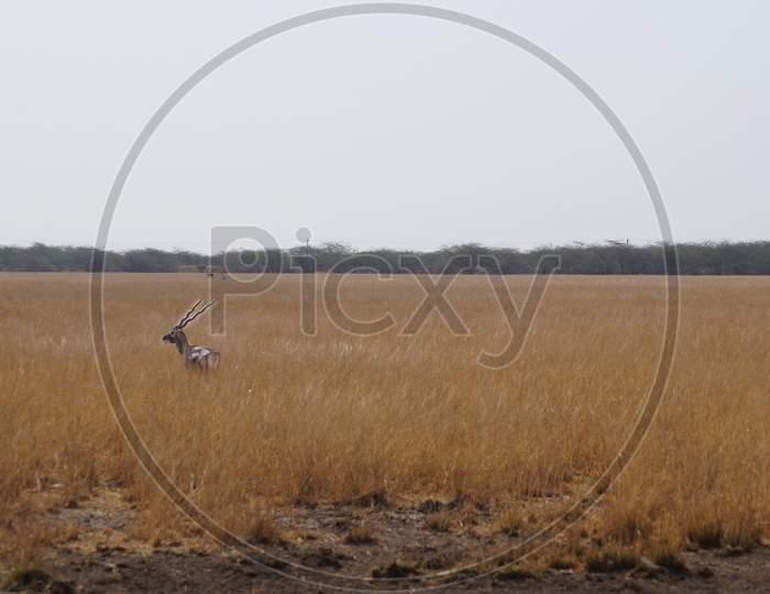 Indian Black Buck Antelope at Velavadar