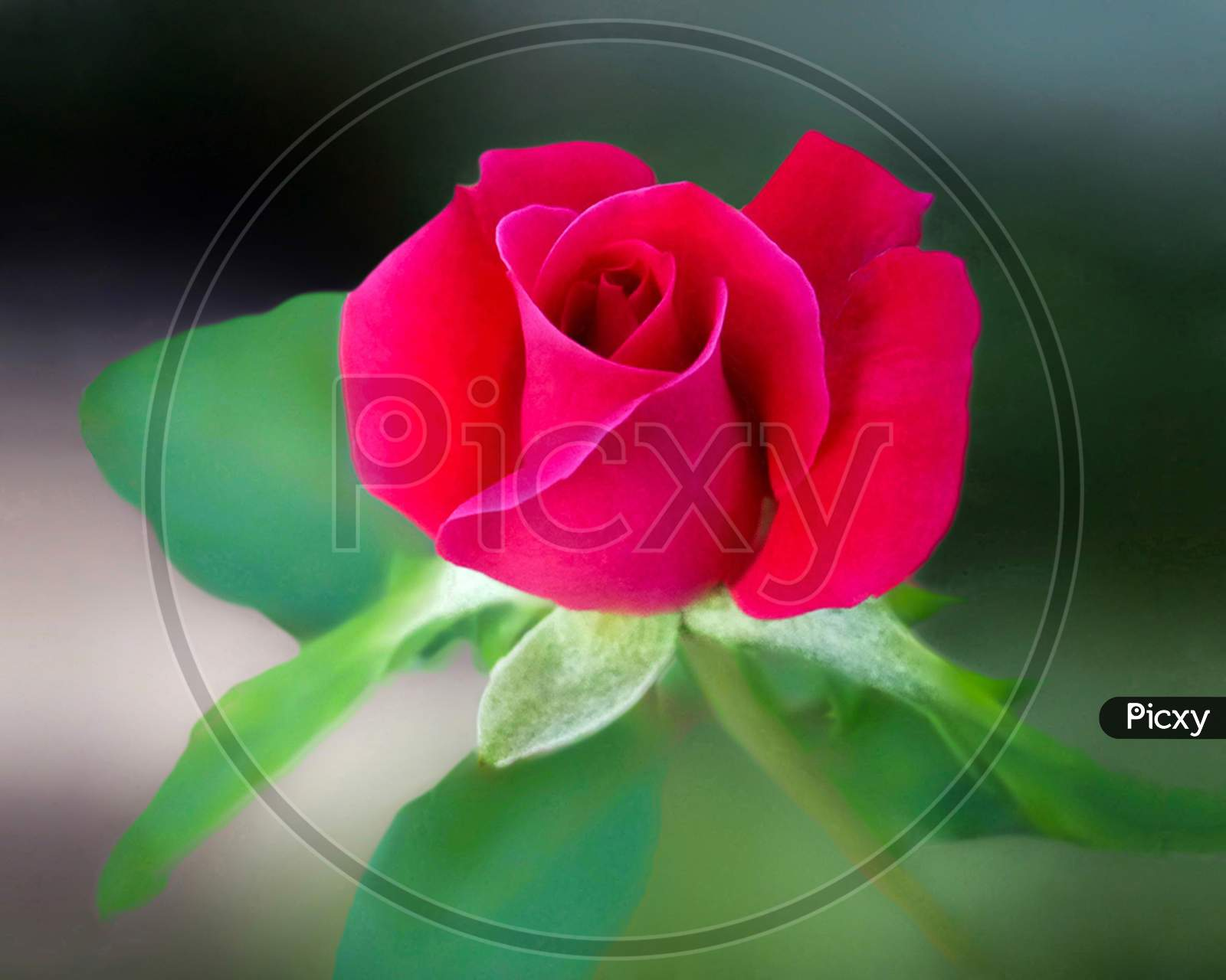 Image Of Red Rose Flower Wallpaper Ep561598 Picxy