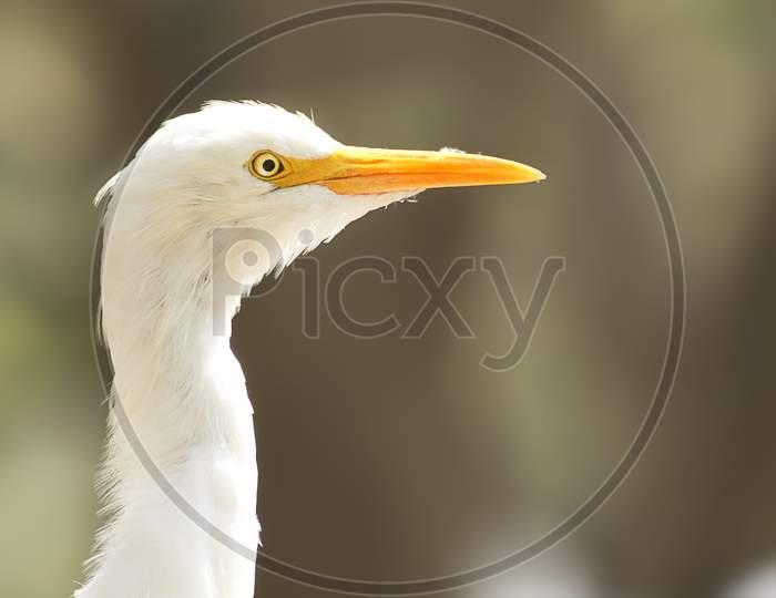 Selective Focus on cattle egret bird