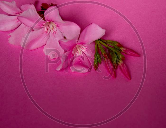 Selective Focus on Pink Nerium Oleander Flowers with Pink Background