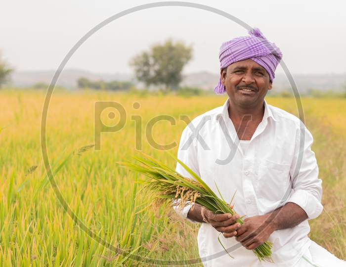 An Indian farmer holding Rice Plants or Paddy Plants in Agriculture Field
