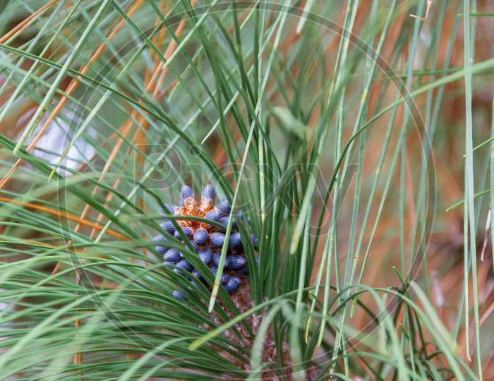 Pineapple Ripening On The Pine In Autumn