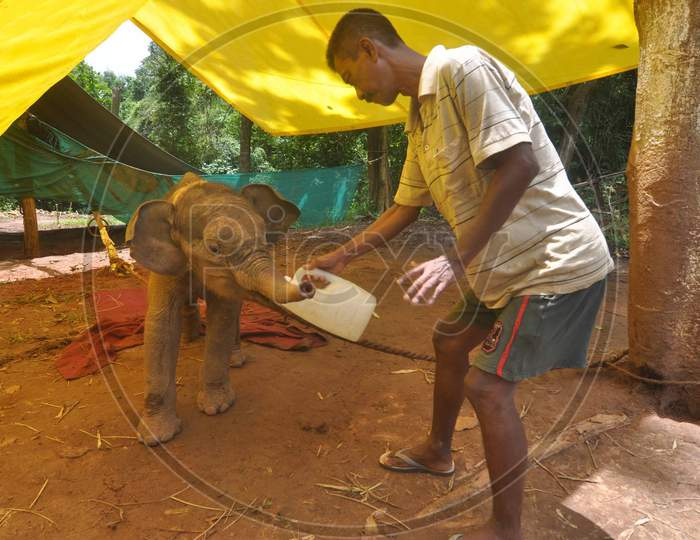 An Animal Keeper Feeds A  4-Month-Old Wild Elephant Calf Which  Was Rescued By Forest Officials From Rani Reserve Forest, At Assam State Zoo In Guwahati , India