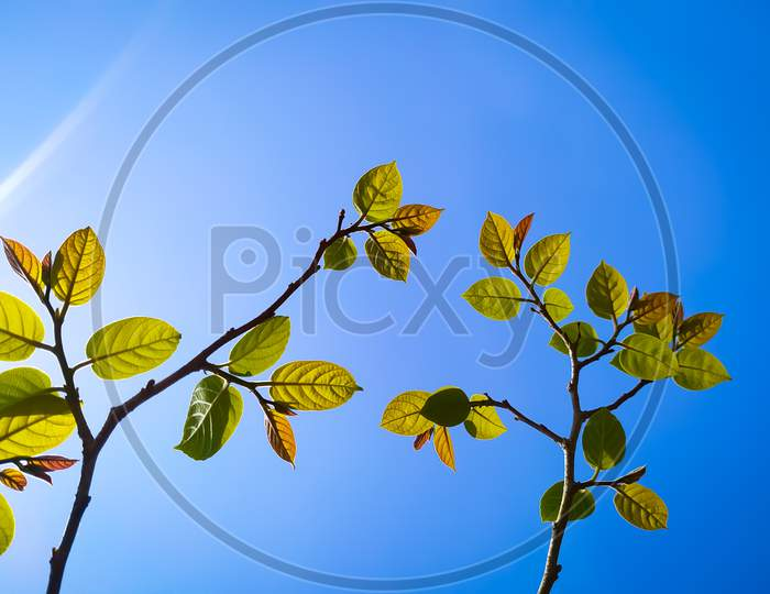 Low Angel view of leaves against clear blue sky