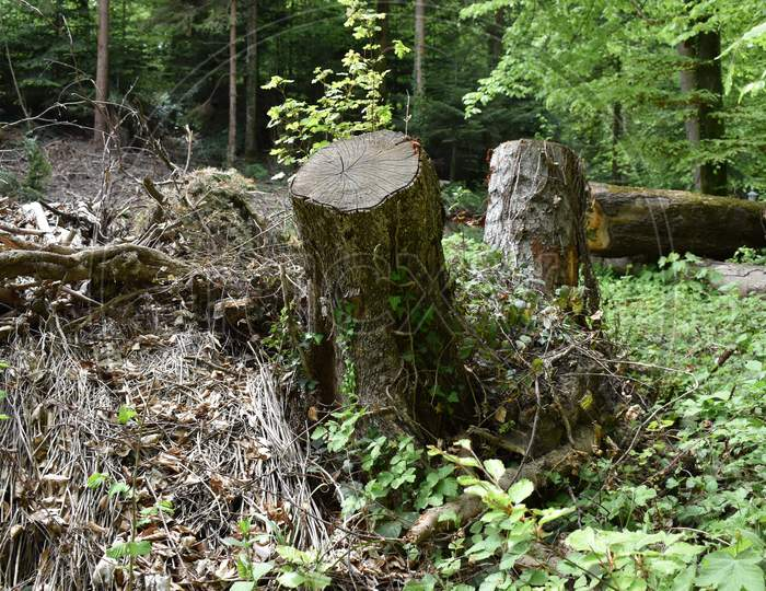 Staple of cut trees in a forest in Liechtenstein 24.4.2020