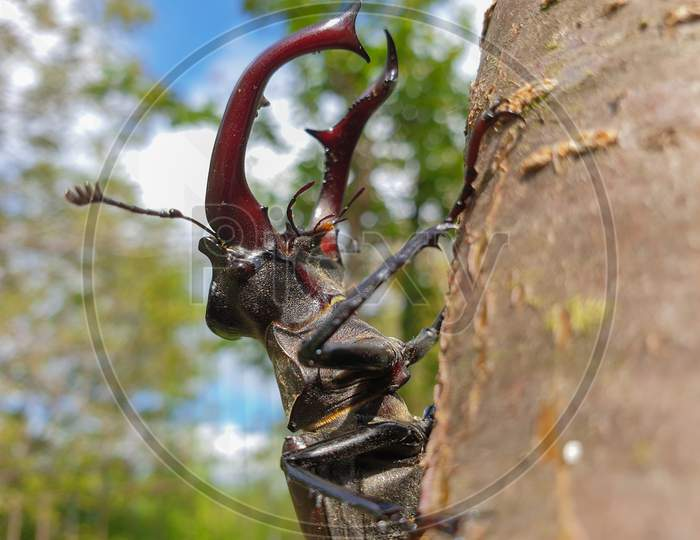 Male European Stag Beetle Insect On Tree Branch