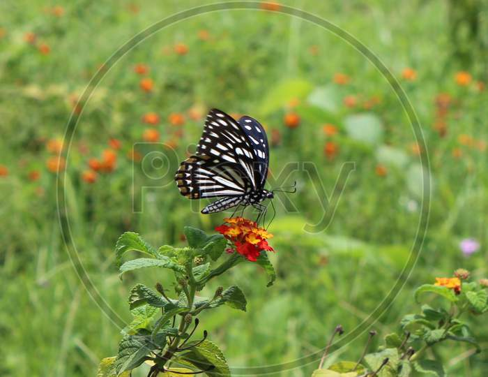 a butterfly pollinating a wild orange colored flower with a blurred green background