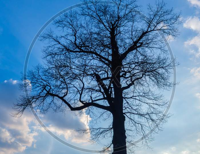 Dark Silhouette Of Single Large Tree Against Blue Sky With White Clouds.
