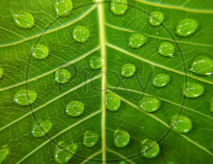 Water droplets on green bodhi leaf