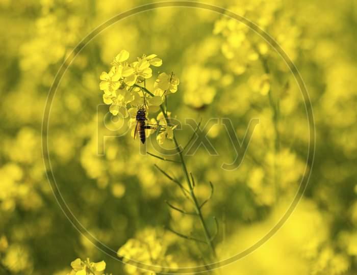 beautiful yellow mustard flowers field