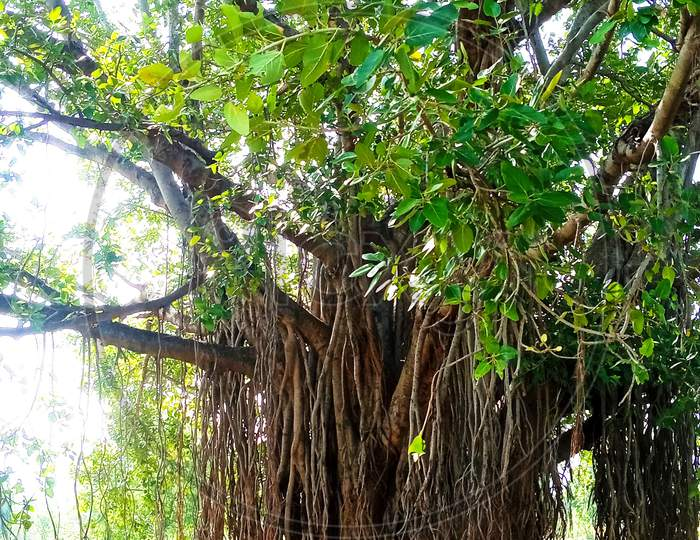 India huge  old banyan tree standing side road root hanging