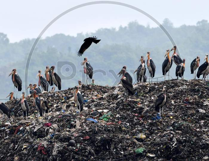 A Flock Of Adjutants Storks Sit On A Garbage Dump At Boragaon In Guwahati, Thuresday, June 4, 2020.