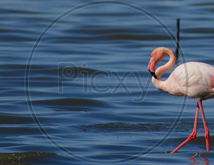 A wild pink flamingo walking in the sea shore