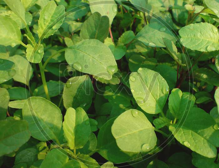 Green groundcover annual planting herb food plant