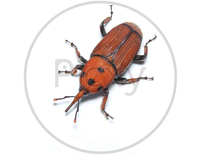 Palm Weevil top view