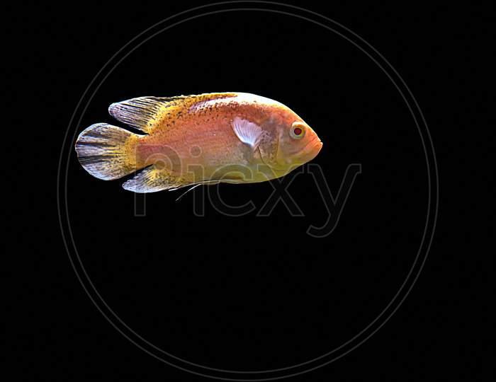 Astronotus Ocellatus Fish Also Known As Oscar Fish Isolated On Black Background.