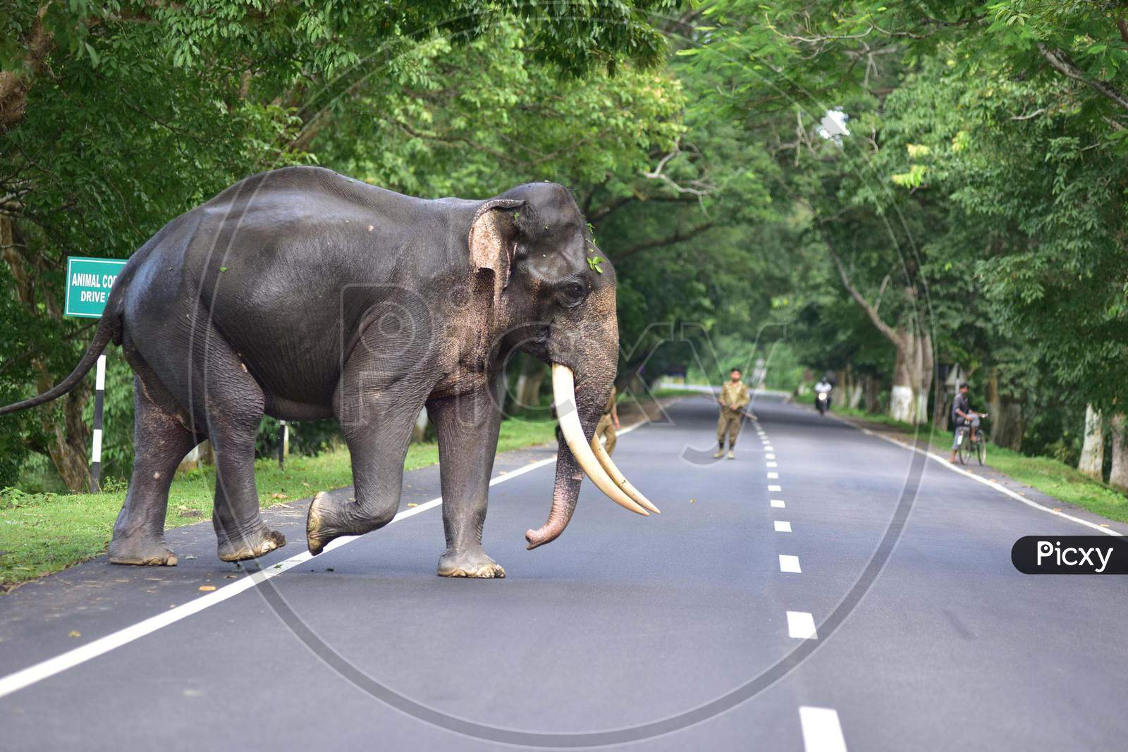 A wild elephant crossed the road to find a safer place as the Kaziranga National Park got flooded in Nagaon, Assam on July 13, 2020