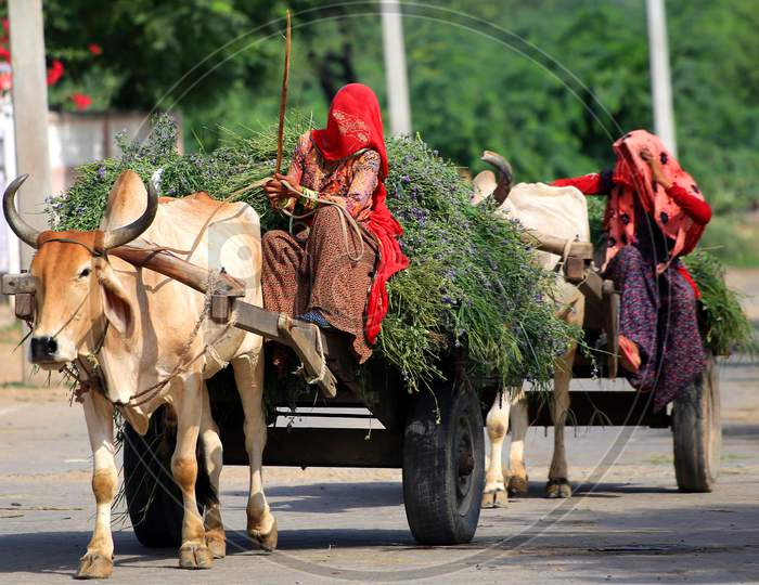 Indian Villager Returns From Agriculture Fields With Produce Carried On A Bullock Cart On The Outskirts Village Of Ajmer, Rajasthan, India On 14 July 2020
