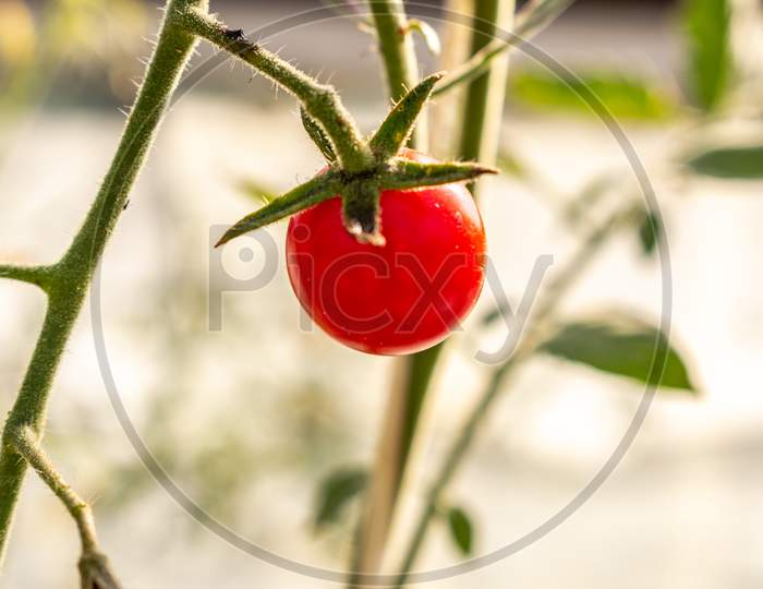 Beautiful Ripe Cherry Tomato In A Private Greenhouse,  Grown Organically