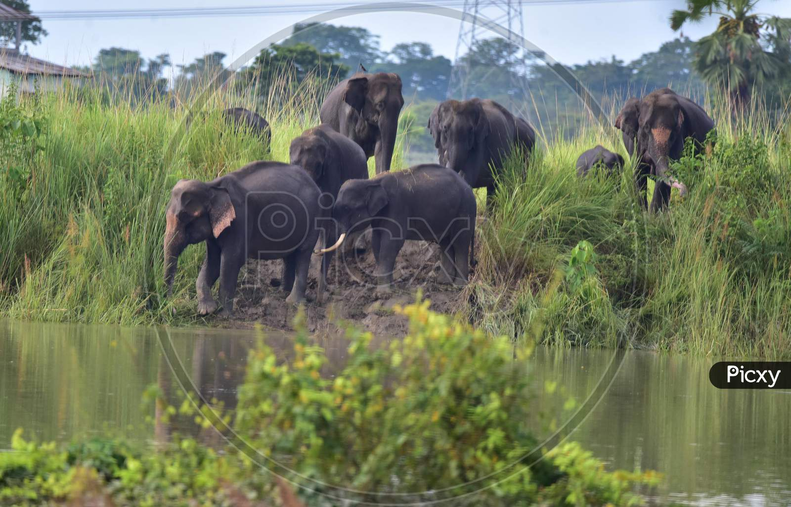 A herd of elephants moves to high ground to escape the floods in Kaziranga National Park in Nagaon, Assam on July 15, 2020