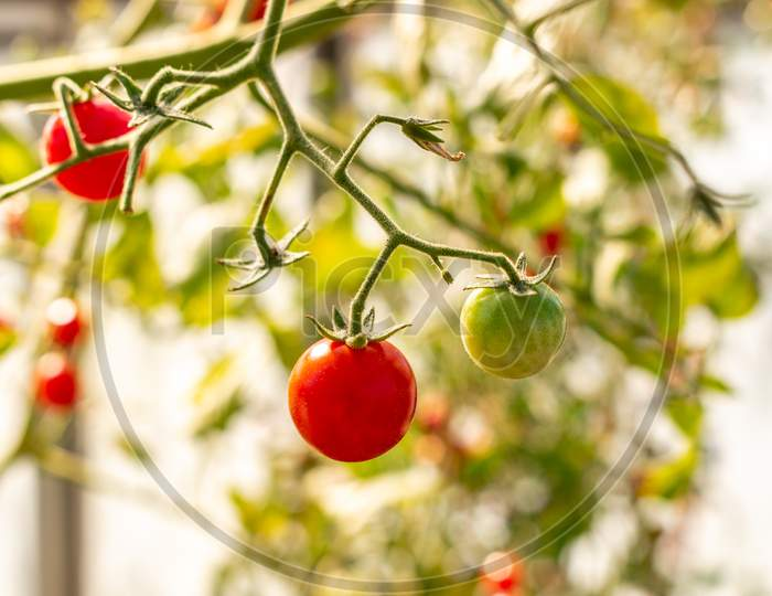 Beautiful Ripe And Unripe Cherry Tomatos In A Private Greenhouse,  Grown Organically