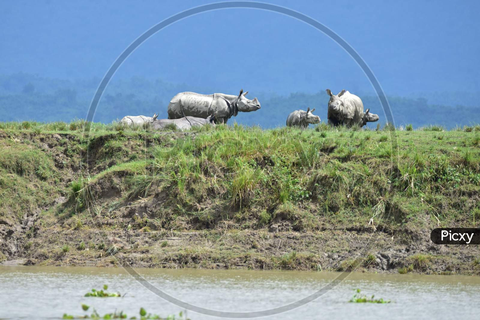 A crash of one-horned rhinos stand on high grounds to escape the flood in the Kaziranga National Park in Nagaon, Assam on July 16, 2020