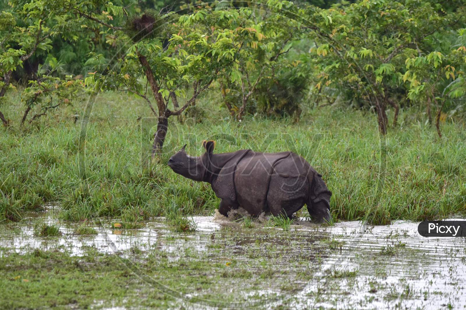 A rhino takes shelter on high ground to escape the flood in the Kaziranga National Park in Nagaon, Assam on July 16, 2020