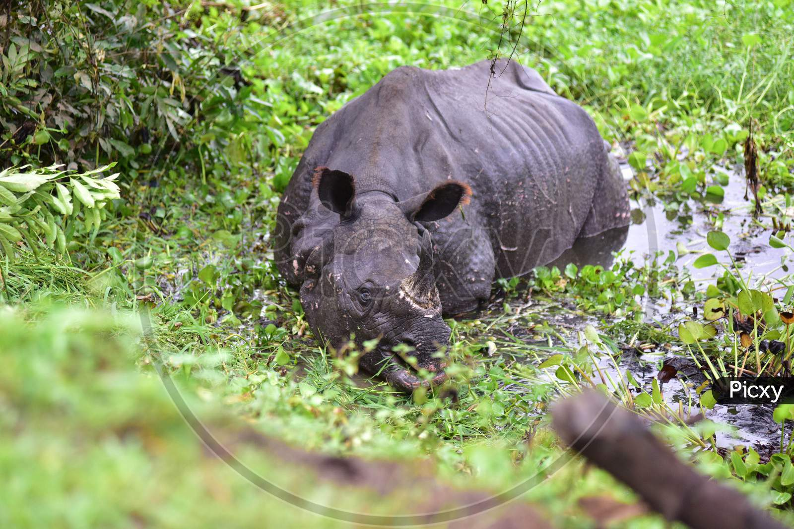 A rhino rests near National Highway 37 after it strayed out of the flood-affected Kaziranga National Park in Nagaon, Assam on July 18, 2020