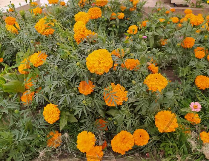 Gilly Flower, Yello flower, Mexican marigold, Aztec marigold, Tagetes erecta