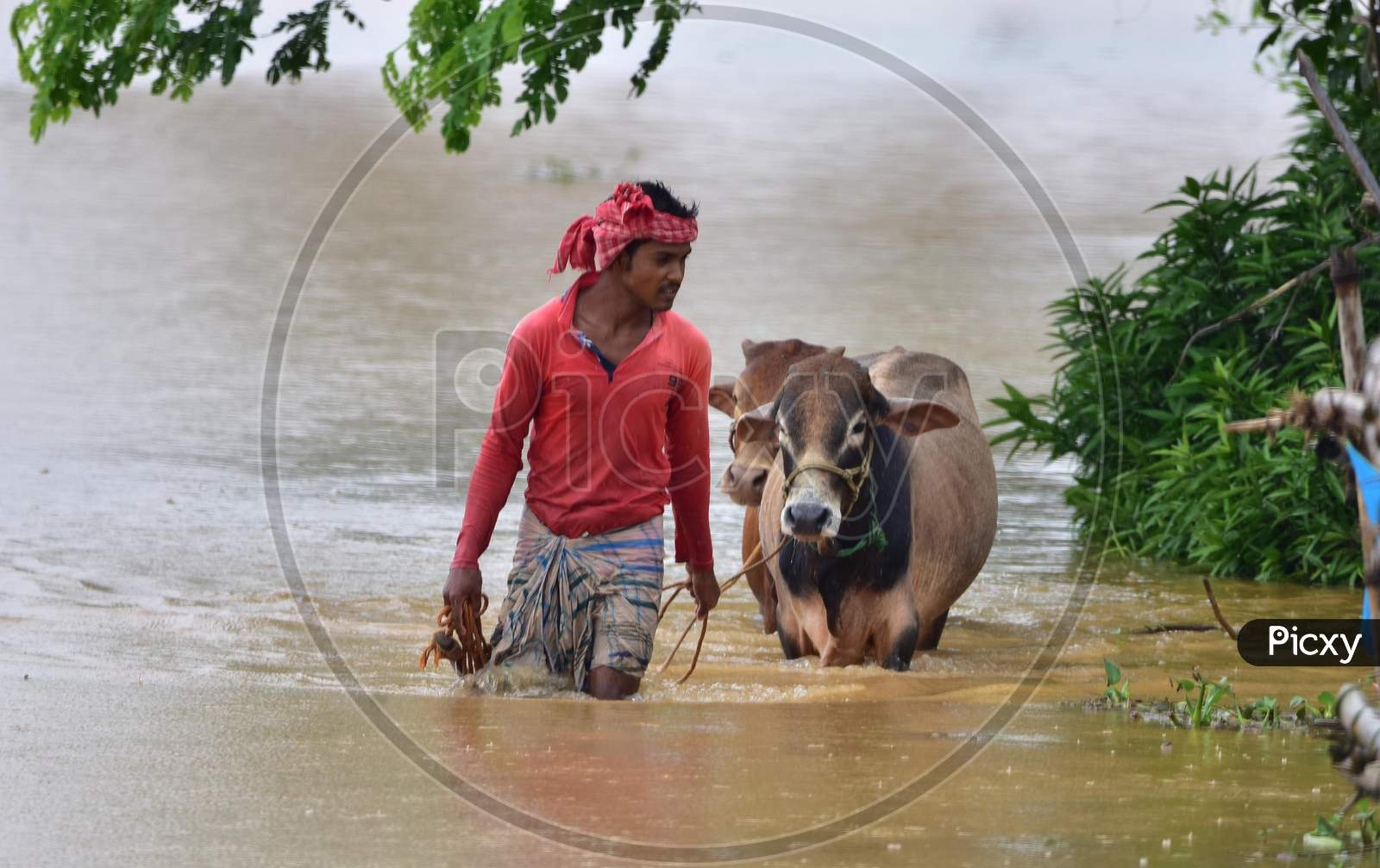A villager with his cattle wades his way through floodwaters in a flood-affected village in Nagaon, Assam on July 22, 2020