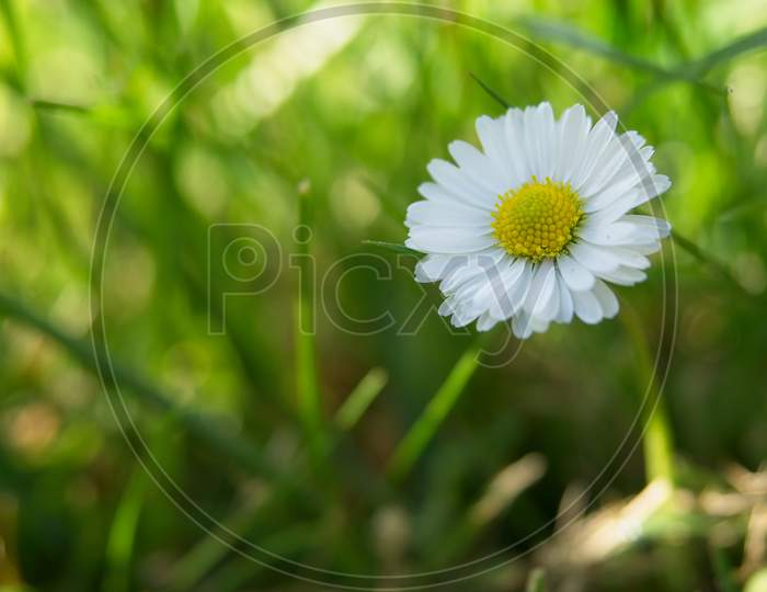 Close-Up Of Beautiful Daisy Flower In The Spring.