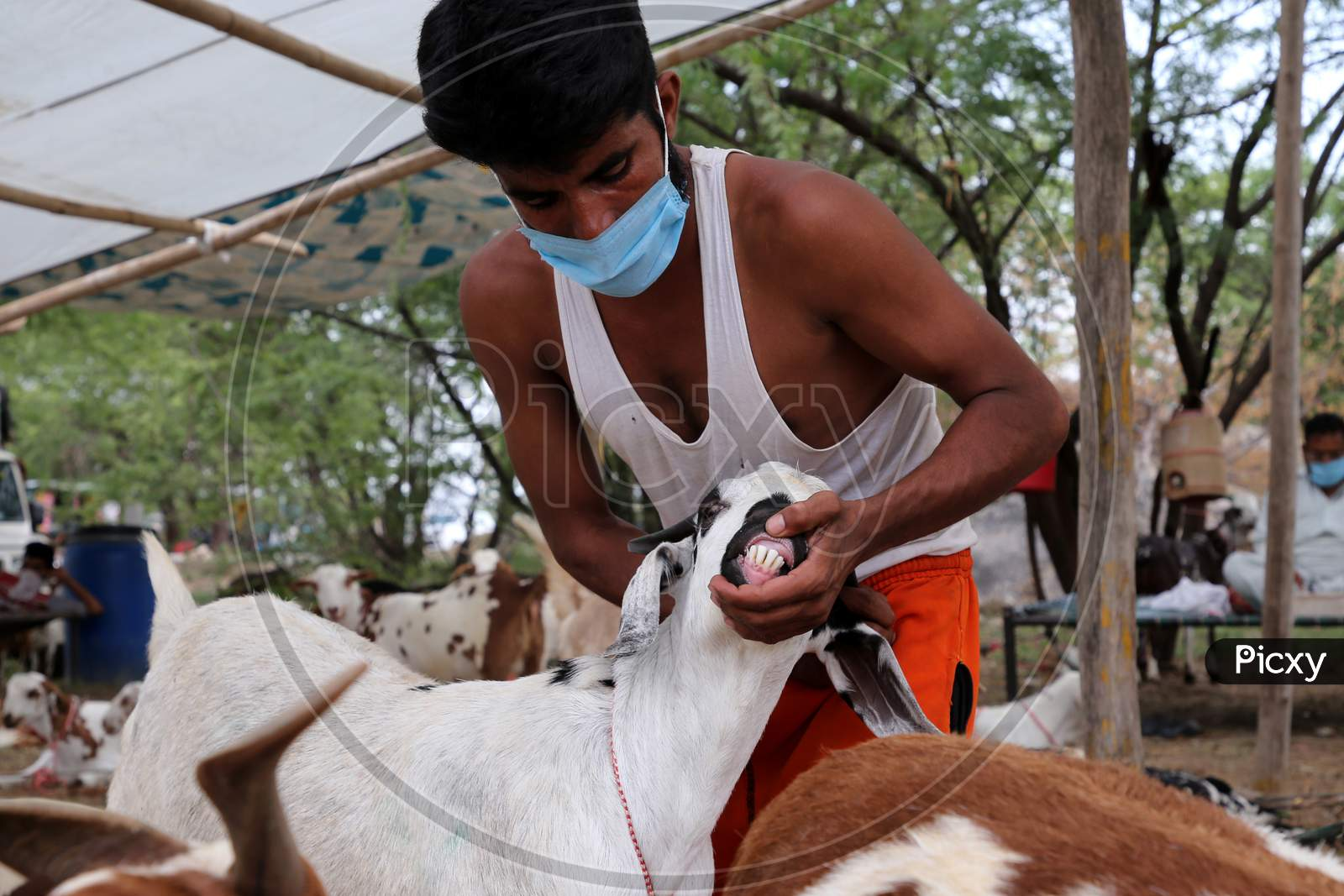 A Man Checks The Teeth Of A Goat To Determine Its Age At A Livestock Market Ahead Of The Muslim Festival Of Eid Al-Adha In Ajmer, India On July 23, 2020.