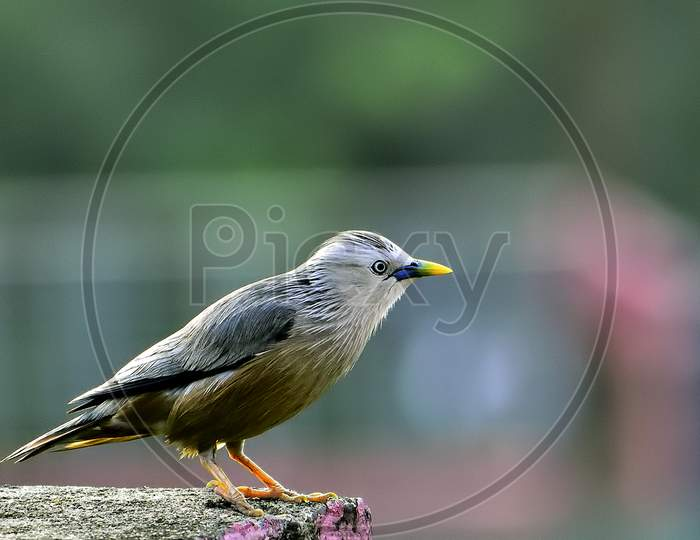 Colorful Chestnut tailed Starling Bird