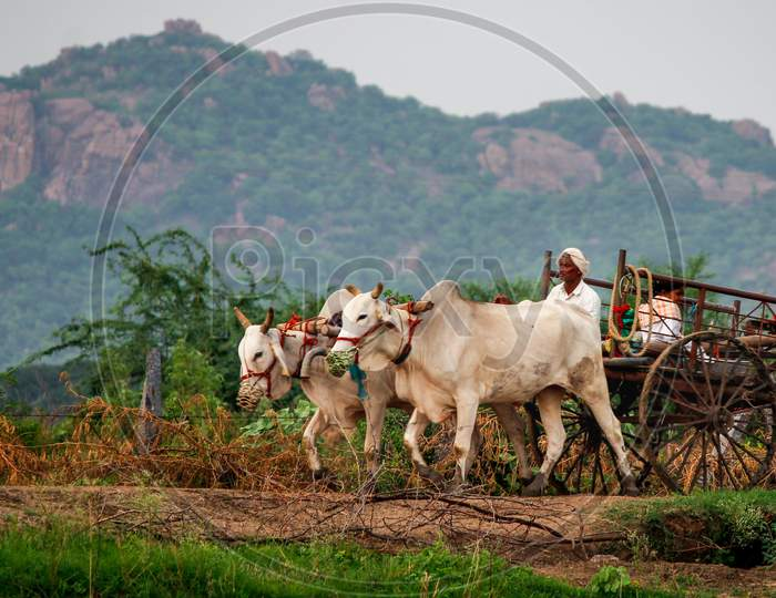 Villagers going home on bullock cart