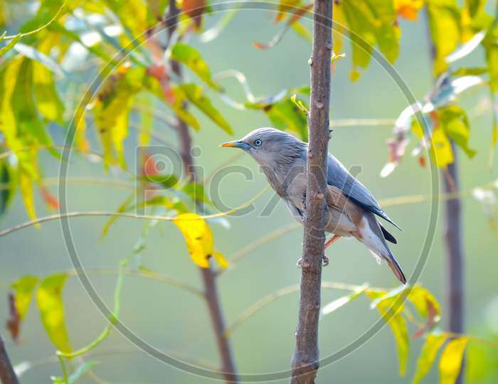 Chestnut-Tailed Starling Sitting On A Tree Branch