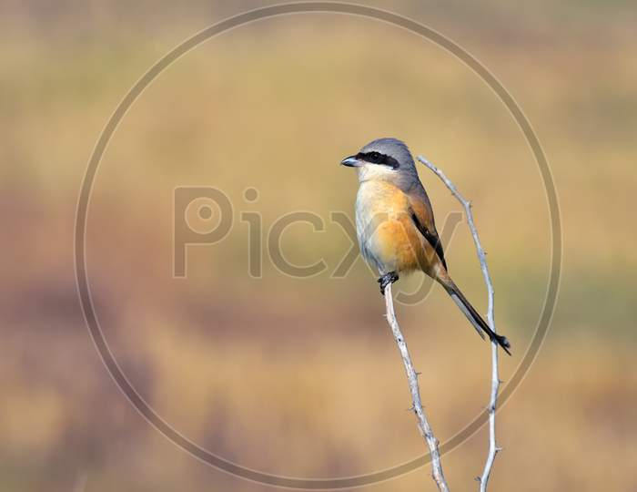 Long-Tailed Shrike Perched On Dry Branch