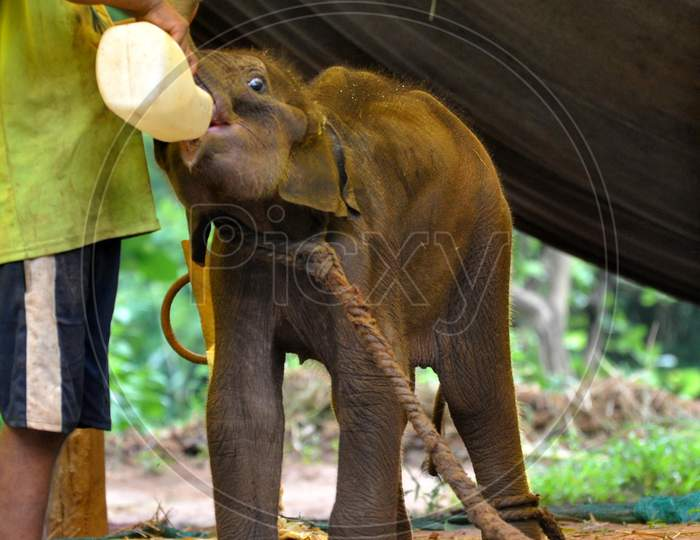 An animal keeper feeds milk to a baby elephant rescued from Rani Reserve Forest during the lockdown in Guwahati, Assam on July 03, 2020.