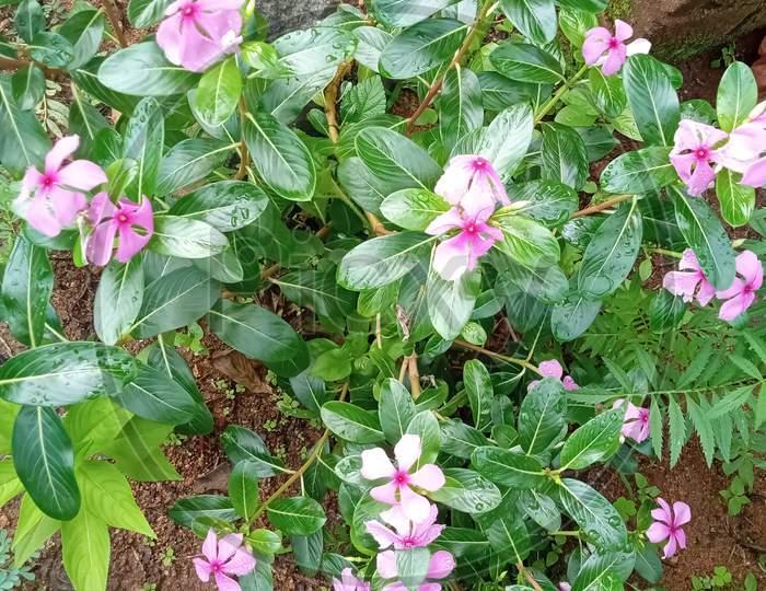 light pink color flower