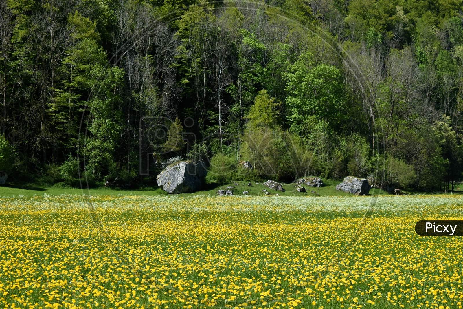 Dandelions in a fresh meadow in Switzerland 7.5.2020