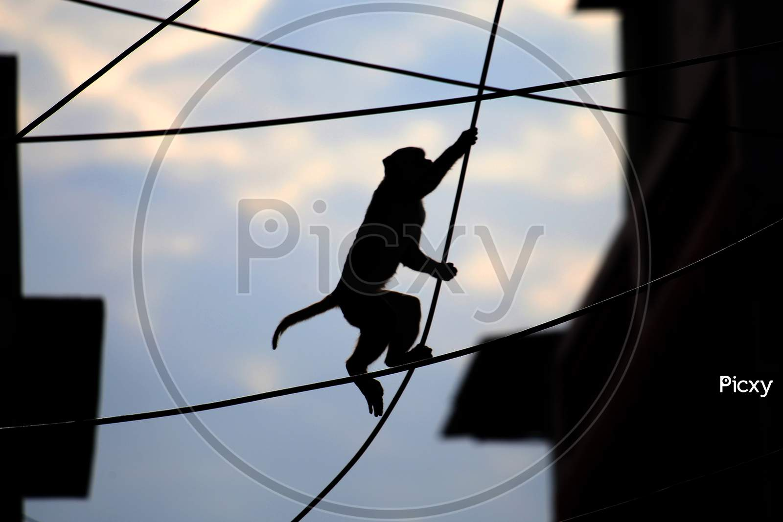 A Monkey Crosses A Street Using Over-Head Power Lines In Ajmer, On August 1, 2020.
