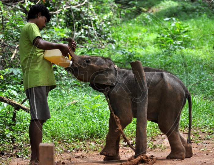 A zoo-keeper feeds an elephant calf at Assam State Zoo, on the eve of World Elephant Day in Guwahati, Tuesday, Aug 11, 2020.